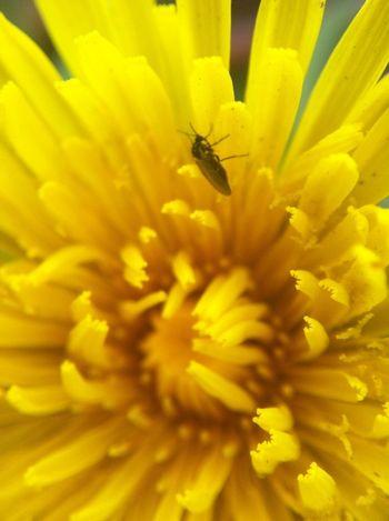 Bug on dandelion