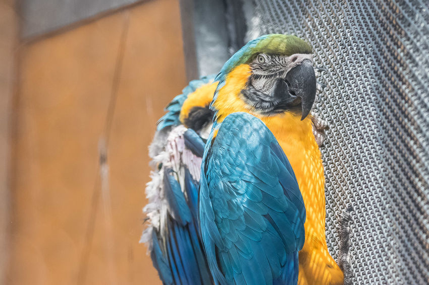The blue-and-yellow macaw (Ara ararauna), also known as the blue-and-gold macaw, is a large South American parrot with blue top parts and yellow under parts. It is a member of the large group of neotropical parrots known as macaws. It inhabits forest (especially varzea, but also in open sections of terra firme or unflooded forest), woodland and savannah of tropical South America. They are popular in aviculture because of their striking color, ability to talk, ready availability in the marketplace, and close bonding to humans. https://en.wikipedia.org/wiki/Blue-and-yellow_macaw Animal Head  Bird Cage Close-up Gold And Blue Macaw Macaw Parrot Perching