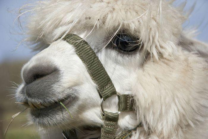 Alpaca Closeup Nature On Your Doorstep Natures Diversities Maximum Closeness