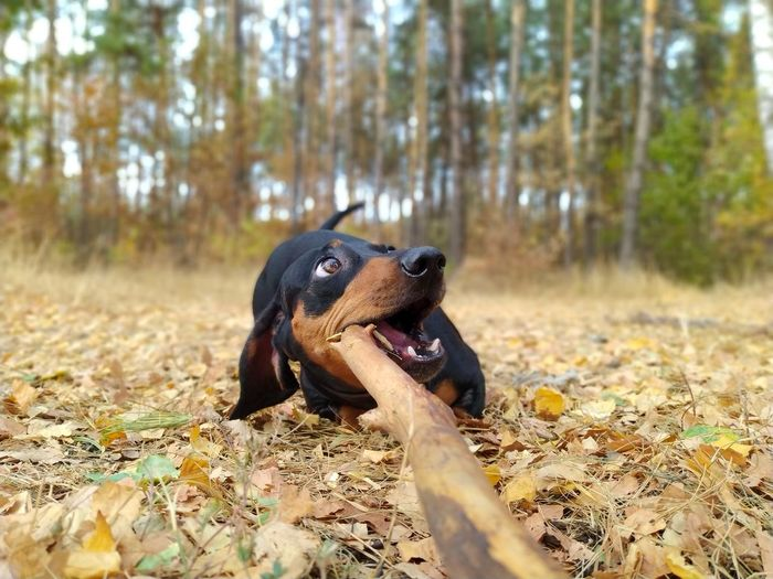 Close-up of a dog on autumn leaves