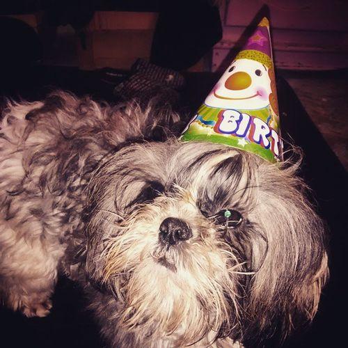 Mi chiqui también quería festejar a su papa ?? Maylo Puppy My Puppy Shihtzu Puppy Love Animal Love HBD HBDay