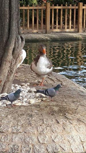 Animal Duck Kuğulu Park Tunalihilmi Ordek EyeEm Best Shots Naturel Wintertime