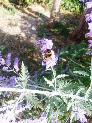 HoneyBee Honey Bees  Bee Bee 🐝 Violet Flowers Flowerporn Flower Flowers,Plants & Garden Flowers