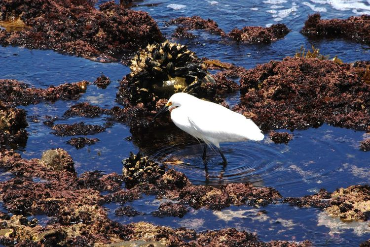Animal Themes Animal Wildlife Animals In The Wild Bird Bird Walking Day Egret Heron Bird Nature No People One Animal Outdoors Perching Reflection Rock - Object Wading In Water Water White Bird