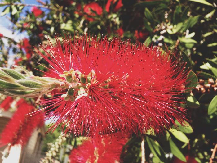 Crimson Bottlebrush Crimson Bottlebrush Australian Native Plants Australia Melbourne