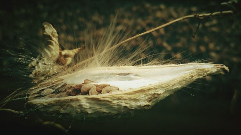 Seed CapsuleClose-up Wild Plant Dead Plant Nature Focus On Foreground Beauty In Nature