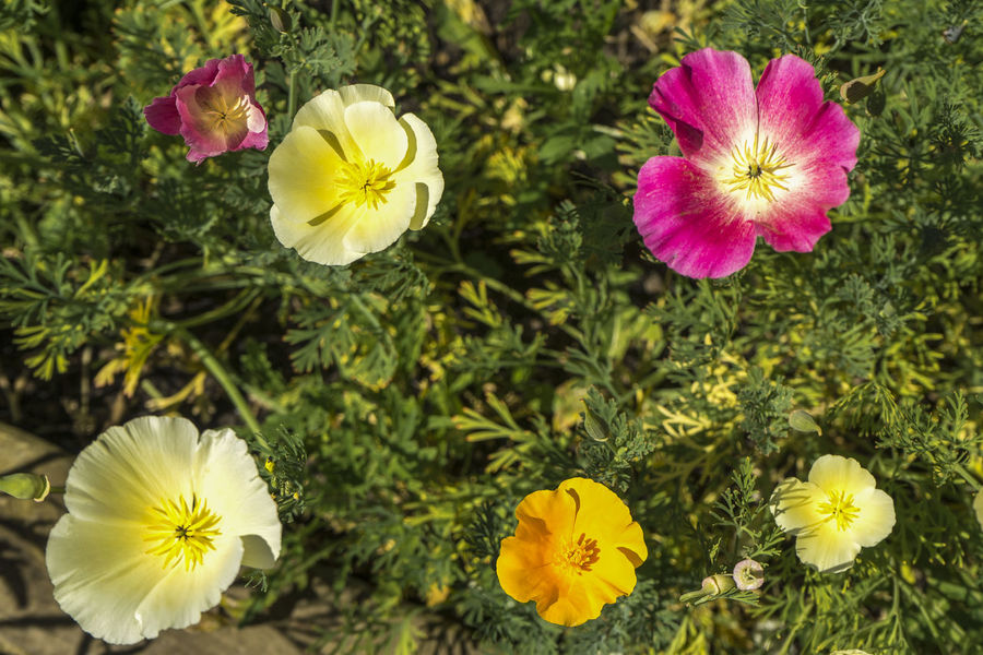California poppies in flower California Poppy California Poppy Flowers California Sunlight Cup Of Gold Beauty In Nature California State Flower Close-up Day Eschscholzia Californica Flower Flowering Plant Focus On Foreground Fragility Freshness Golden Poppy Growth Nature No People Outdoors Petal Plant