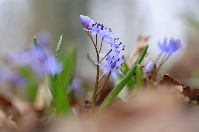 """Springtime"" Sirui Tripod Sirui Https://www.facebook.com/mh.photography.de/ Michael Hruschka Spring Flowers Spring Frühling Bokeh Makro Macro Pflanzen Blume Springtime Flower Purple Nature Plant Fragility Petal Flower Head Beauty In Nature Blossom Wildflower Close-up Freshness No People"