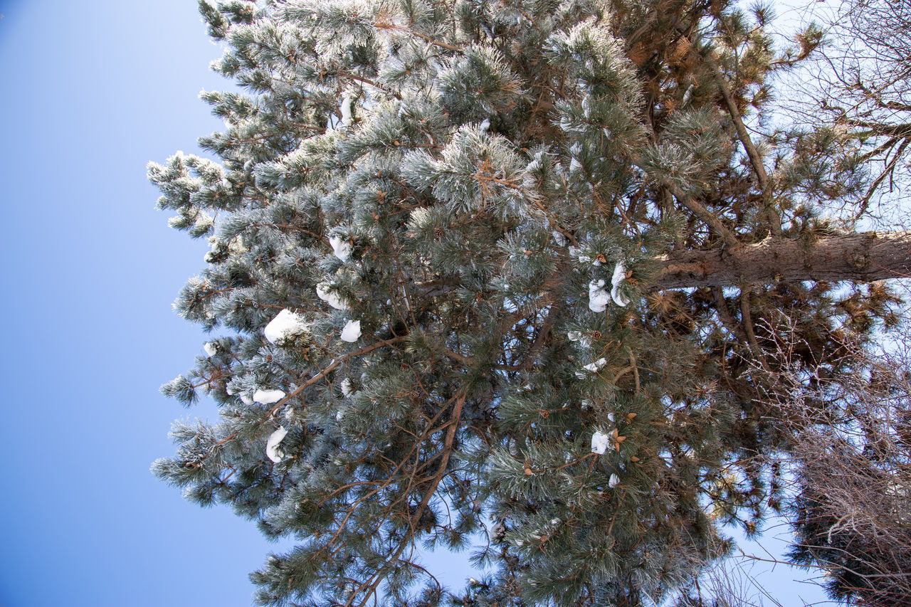 LOW ANGLE VIEW OF SNOW ON TREE