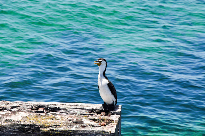 Large cormorant bird perched on old wooden jetty structure in Busselton, Western Australia. Animal Themes Animal Wildlife Animals In The Wild Avian Bird Black Blue Busselton Cormorant  Day Indian Ocean Isolated Jetty Nature One Animal Outdoors Perching Pied Cormorant Sea Turquoise Water Water Western Australia White Wildlife Wood - Material
