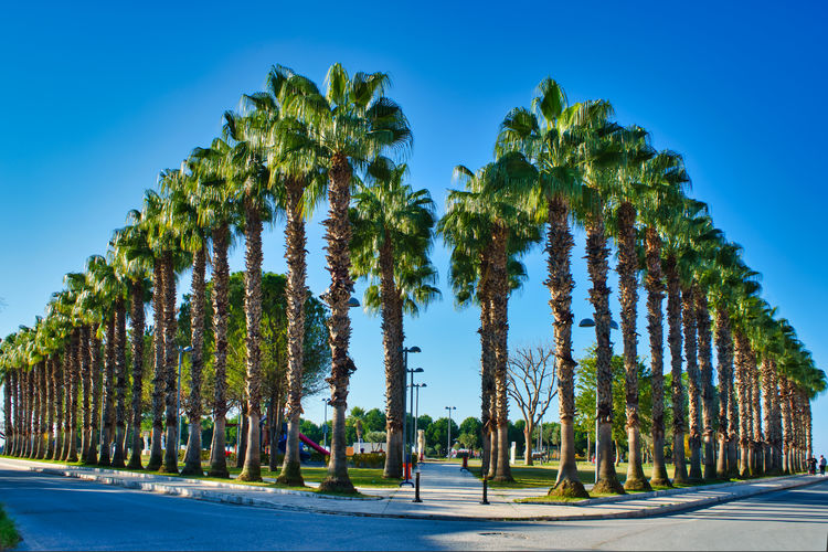Palm trees on road against clear blue sky