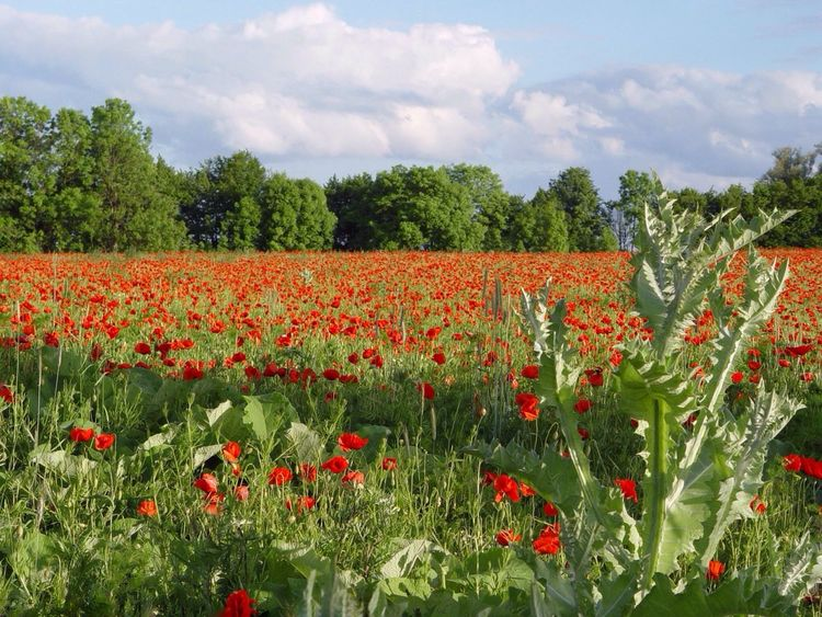 Flower Nature Growth Beauty In Nature Plant Sky Field Red No People Tranquil Scene Day Cloud - Sky Rural Scene Blooming Outdoors