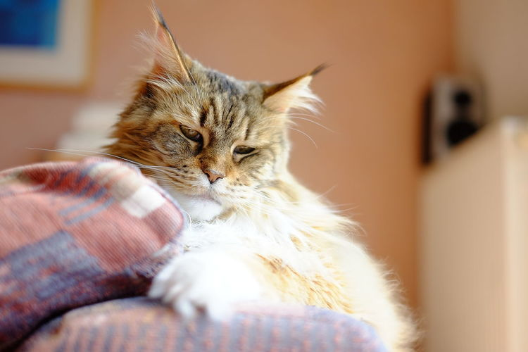 Domestic Domestic Animals Pets Mammal Domestic Cat Cat Feline Animal Themes Animal One Animal Home Interior Vertebrate Indoors  Relaxation Furniture No People Selective Focus Resting Sofa Whisker Maine Coon Cat Maine Coon Tabby Cat Hey, My Name Is Velvet Germany Hanau Am Main Queen Fluffy Hanging Out