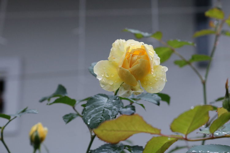 In spring Growth Plant Nature No People Outdoors Day Garden Rose - Flower Exterior Villa Hostel Flower Flowering Plant Fragility Vulnerability  Flower Head Beauty In Nature White Color Rosé Yellow