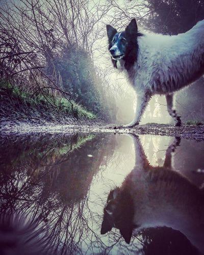 Reflections Dog