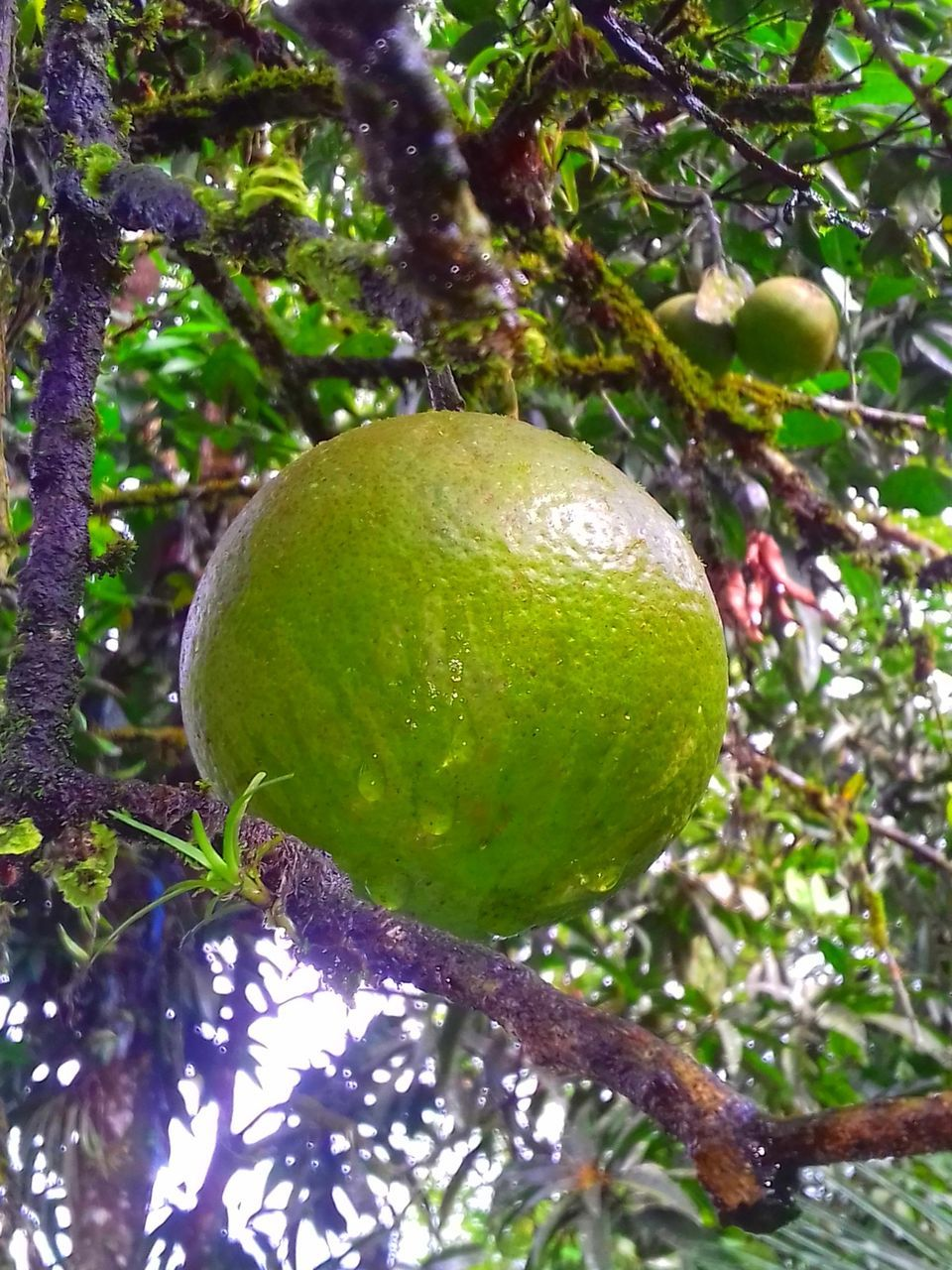 fruit, tree, growth, food and drink, branch, freshness, no people, green color, lemon tree, citrus fruit, day, food, nature, close-up, hanging, outdoors, unripe, ripe, focus on foreground, low angle view, healthy eating, leaf, beauty in nature