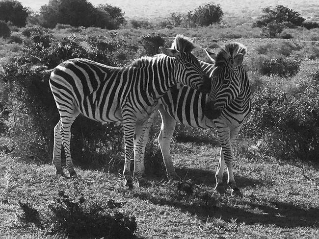 Zebra Striped Animals In The Wild Animal Themes Two Animals Mammal Outdoors Animal Wildlife Nature