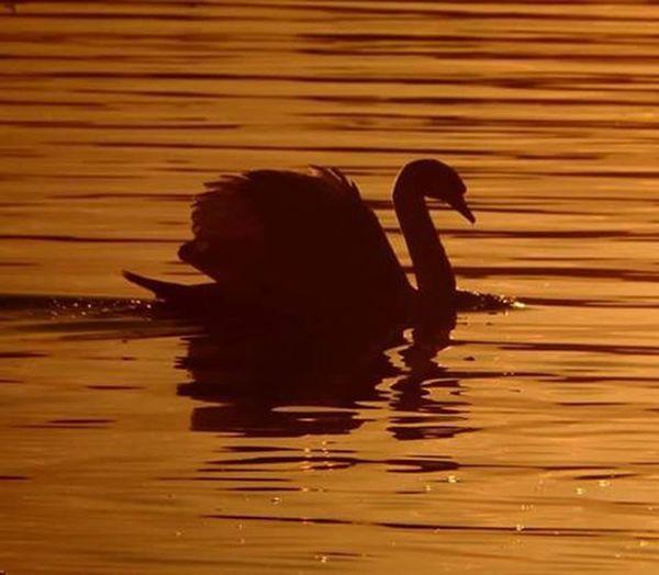 Swan Swansilhouette Sunset ,lake