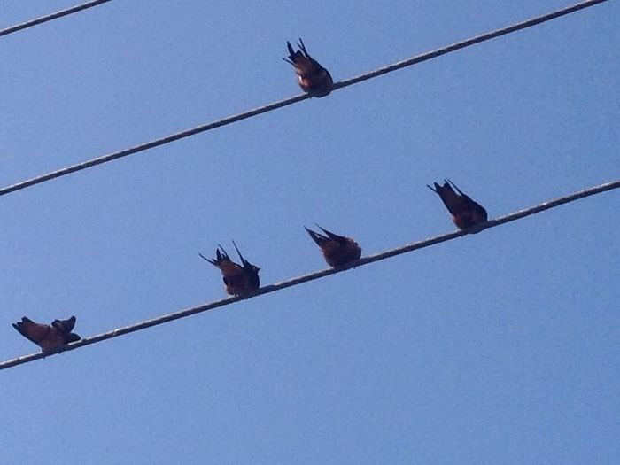 Swallow birds Swallow Birds Sky