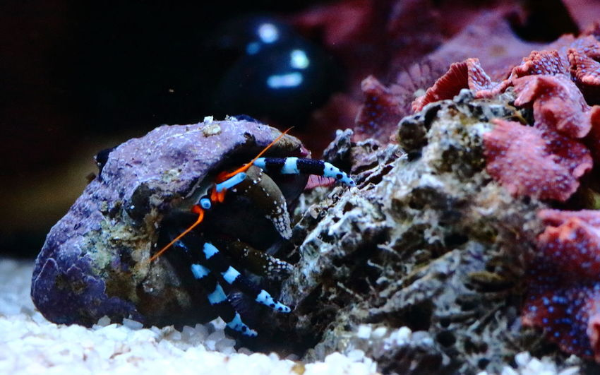 Blue Legs Crab Hermit Animal Themes Animal Wildlife Animals In The Wild Close-up Day Hermit Crab Nature No People One Animal Outdoors Reef Reeftank Sea Life UnderSea Underwater Water
