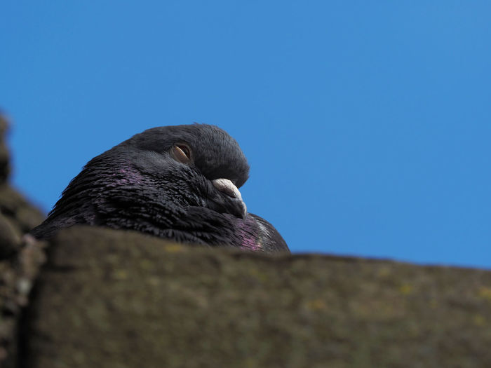 Sleepy Pigeon Pigeon Pigeon Bird  Sleepy Vertebrate Sky Bird Nature Clear Sky No People Low Angle View Day Copy Space Blue Selective Focus Close-up Outdoors Relaxation Perching