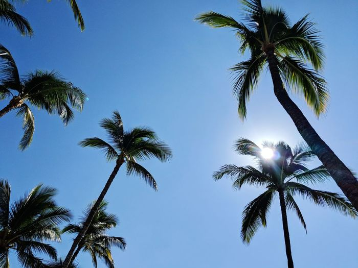 tall palms Palm Tree Tree Nature Growth Sky Low Angle View No People Beauty In Nature Blue Leaf Freshness