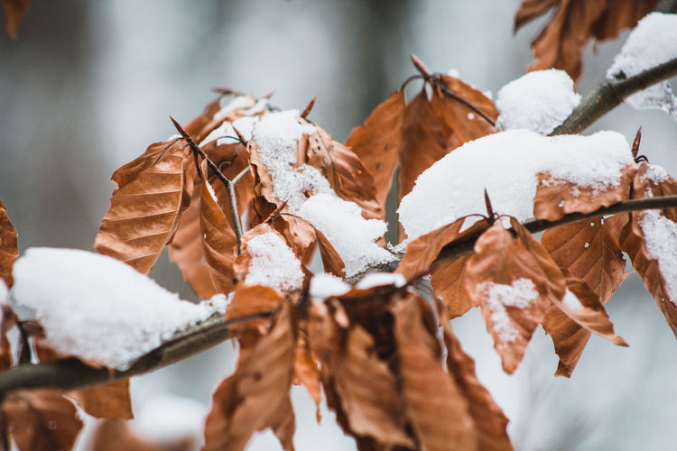 Close-up of dry leaves covered with snow during autumn