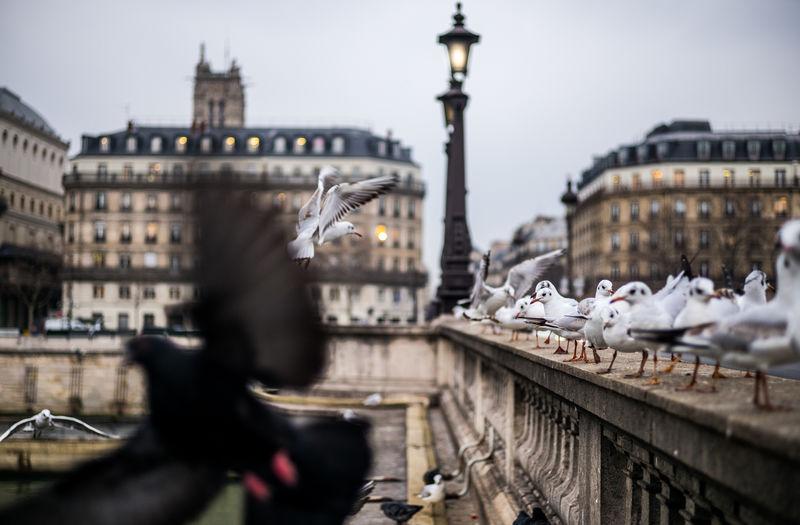 Bird Travel Destinations Pont Notre Dame Doves Gull Seagull River Seine Paris Lantern Public Places City Hiver à Paris Wintertime Winter In Paris Streetphotography The Week on EyeEm