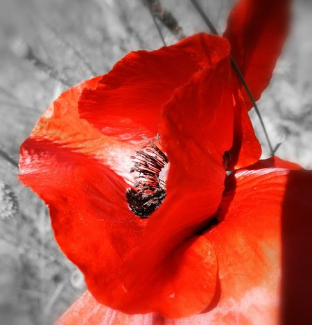 Poppy Shot No People Nature Close-up Flower Flower Head Beauty In Nature Nature On Your Doorstep Flowers, Nature And Beauty Flowers,Plants & Garden Kent England British Summer British Summertime Beautiful Nature St Margaret's At Cliffe Kent England Nature Countryside Uk Countrylife Poppies In Bloom Poppy Season Poppyflower Poppy Poppy Love Flowerlovers Flowers_collection Red Flowers