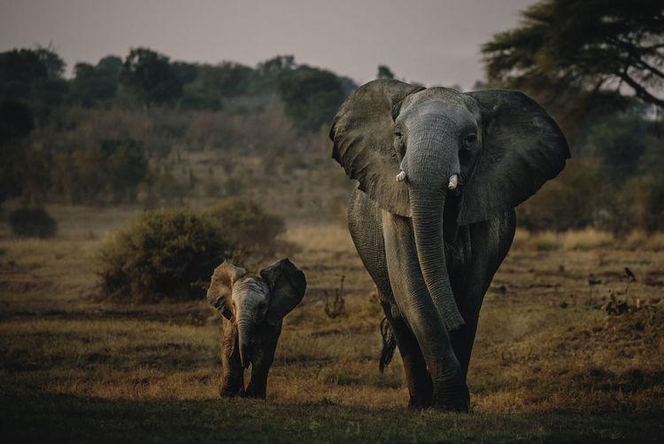 Full length of elephants on field during sunset