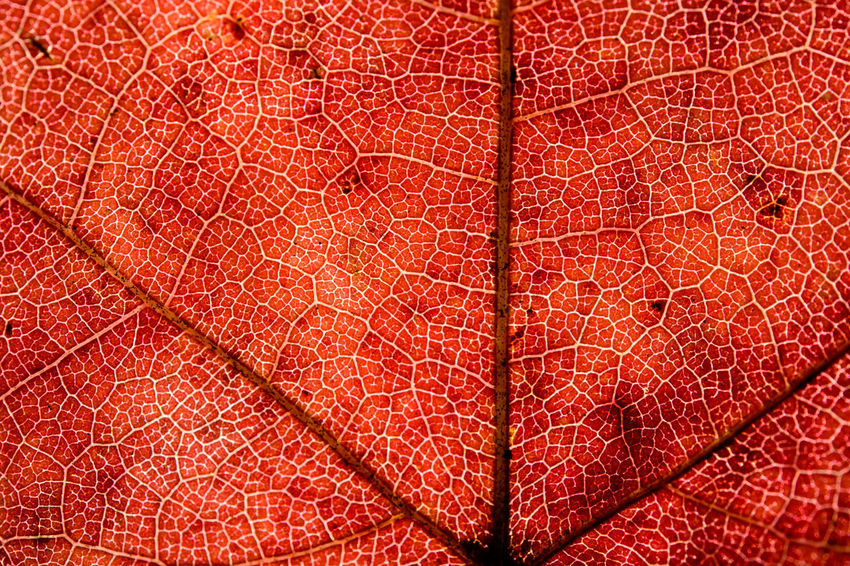 Vein of maple leaf with macro in front of sun Backgrounds Biology Close-up Day Full Frame Leaf Leaf Vein Macro Maple Maple Leaf Nature No People Outdoors Pattern Red Textured  Vein Veins In Leaves