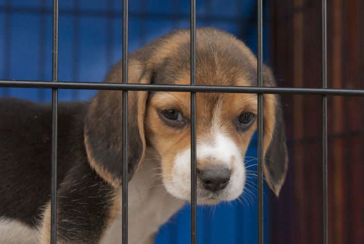 Close-Up Of Beagle Puppy In Cage