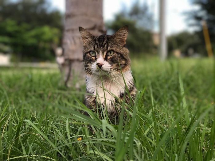 😍😍 Domestic Cat Grass Domestic Animals Pets Animal Themes One Animal Feline Mammal Focus On Foreground Portrait No People Looking At Camera Green Color Outdoors Day Nature Close-up Tiger Cat Pet Portraits