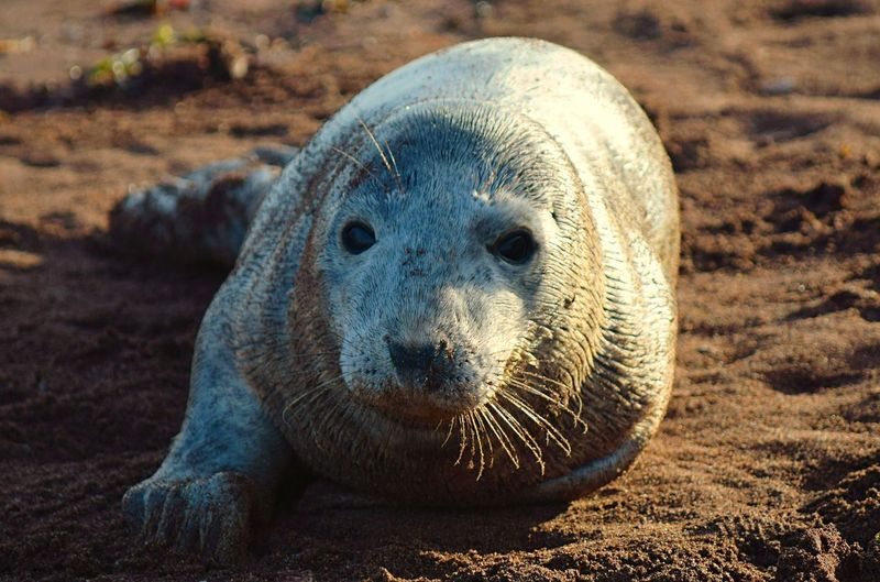 Close-up portrait of a seal pup on beach