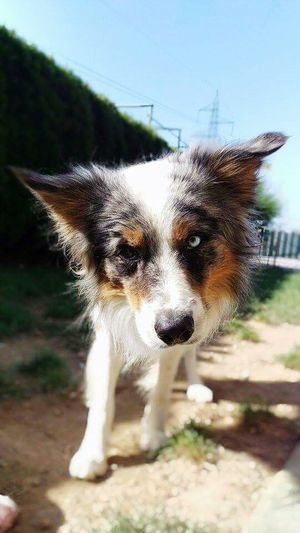 Dog Border Collie Sheepdog Merle Tricolor Nature Beautiful Friends TooCute First Eyeem Photo