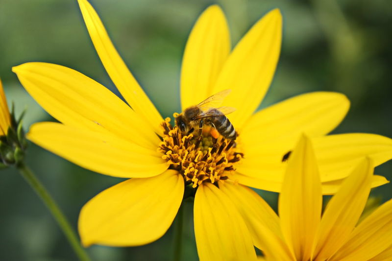 Honeybee collecting pollen Bees HoneyBee Animal Themes Animal Wildlife Beauty In Nature Bee Beekeeping Blooming Close-up Day Flower Flower Head Focus On Foreground Fragility Freshness Growth Insect Nature Outdoors Petal Plant Pollen Pollination Yellow