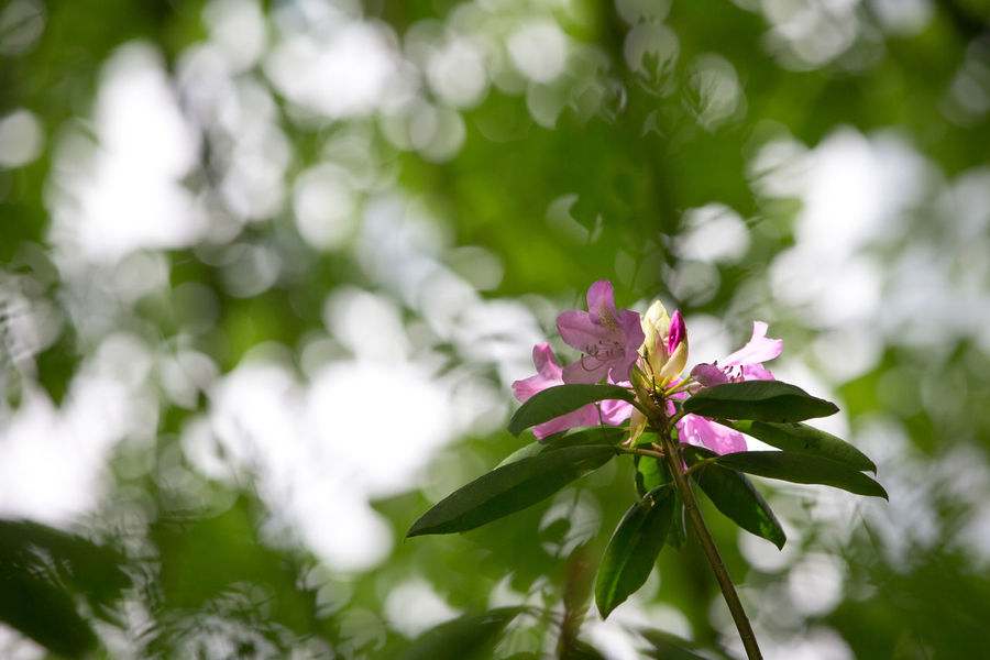 Copy Space Beauty In Nature Blurred Background Bokeh Close-up Day Flower Flower Head Flowering Plant Focus On Foreground Fragility Freshness Growth Inflorescence Leaf Nature No People Outdoors Petal Pink Color Plant Plant Part Vulnerability