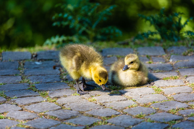 Close-Up Of Ducklings On Cobblestone