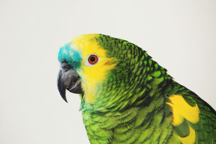 Blue-fronted Amazon Parrot Amazon Amazon Parrot Blue-fronted Amazon Blue-fronted Parrot Bird Cute Pets Green Color Bird Photography Pets Of Eyeem Pet Portraits Bird Parrot Pets Multi Colored Yellow Feather  Beak Tropical Bird