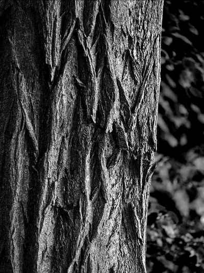 Backgrounds Bark Black And White Close-up Day Focus On Foreground Growth High Contrast Black And White Natural Condition Natural Pattern Nature No People Outdoors Pattern Plant Plant Bark Rough Textured  Textured Effect Toughness Tree Tree Trunk Trunk Wood - Material