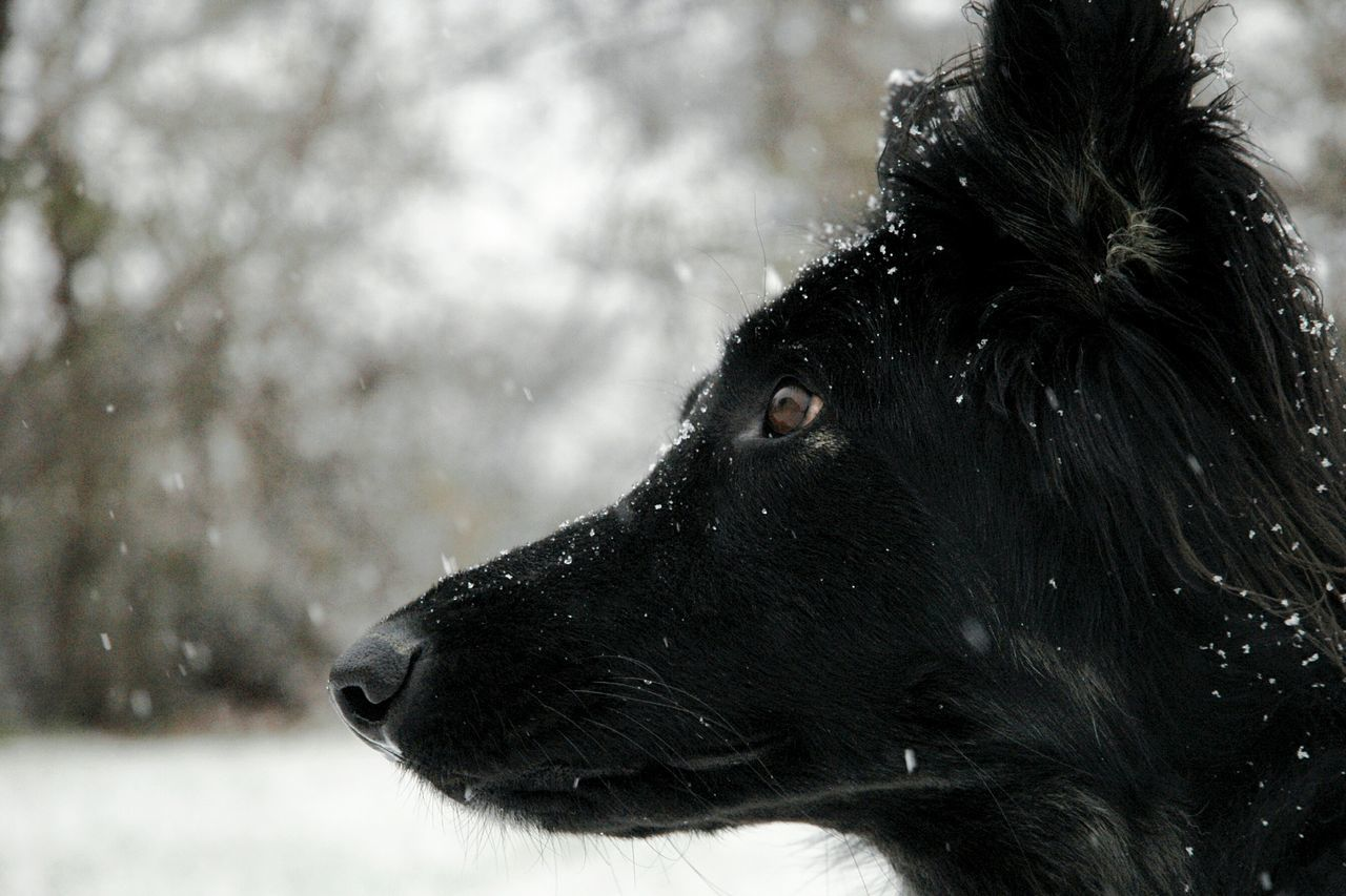 Close-Up Profile Of Black Dog During Winter