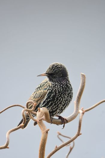 Low angle view of starling perching on branch against sky