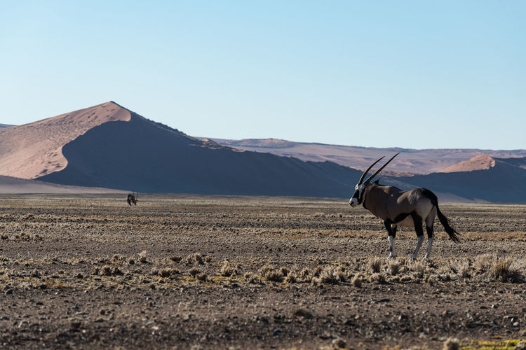 Oryx standing at desert against mountain and clear sky