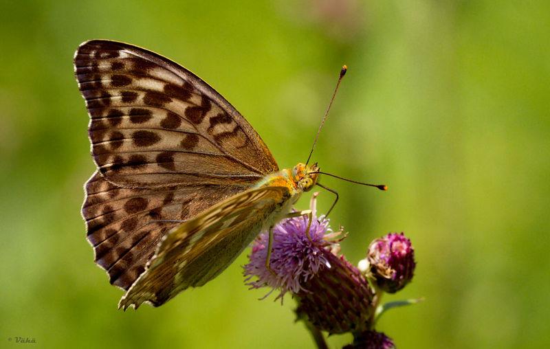 Argynnis Paphia Butterfly Finland Macro Outdoors Summer Valesina