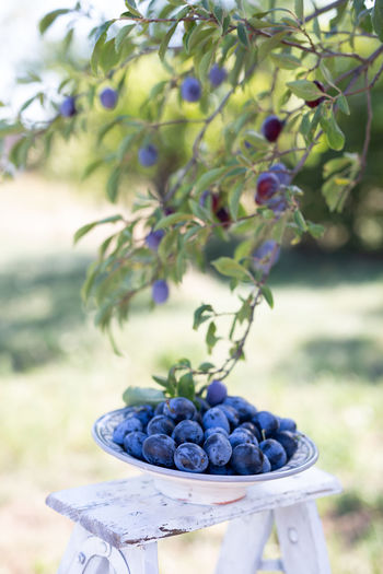 Food And Drink Healthy Eating Fruit Food Freshness Wellbeing Focus On Foreground Close-up Day No People Plant Nature Agriculture Container Still Life Outdoors Ripe Purple Plum Plum Tree Harvest Harvesting Harvesting Time Summer Summer Time  High Size