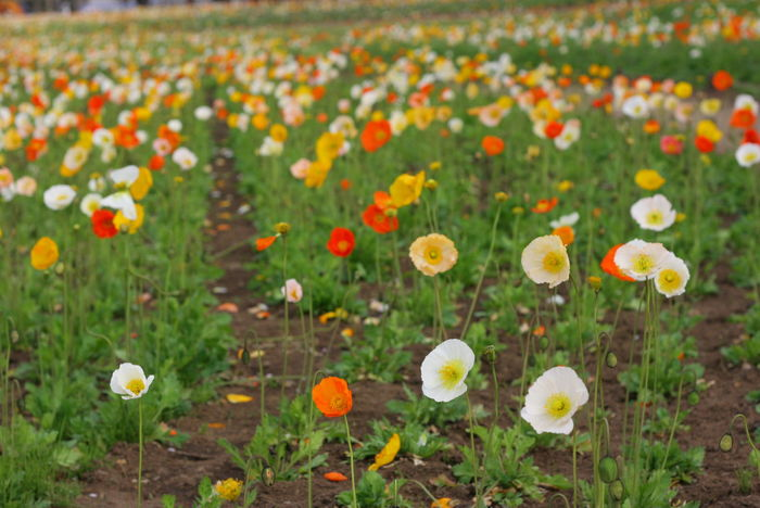 Poppy Fields Beauty In Nature Nature_collection Vivid Colours  Poppy Flowers Colour Of Life Poppy Flowers Flower Field Japan Showakinen Kouen Showa Kinen Park Showa Memorial Park Red Poppy Yellow Poppy White Flower