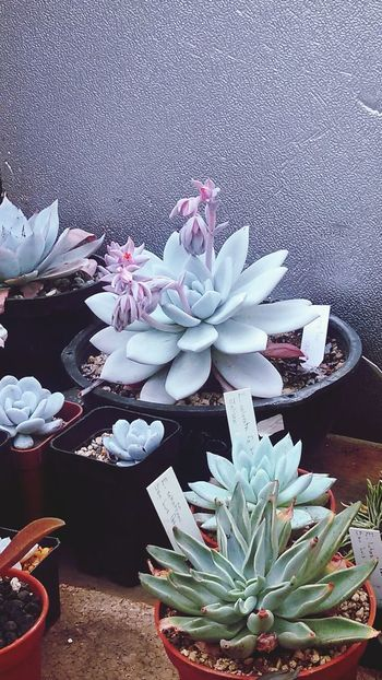 Echeveria Flowers Wonders Of The World