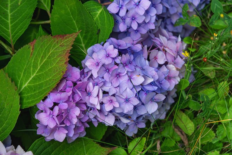 Plant Growth Flower Flowering Plant Beauty In Nature Freshness Plant Part Leaf Fragility Vulnerability  Purple Petal Close-up Nature Green Color Inflorescence Hydrangea Springtime Day Flower Head No People Bunch Of Flowers Lilac Hortensia Flower