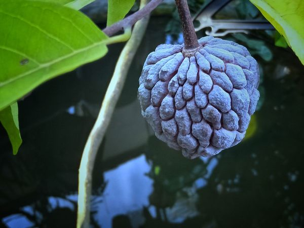 Annona Fruits Annona Fruit Annona Annonaceae Annona Squamosa Annona Reticulata Annona Reticulate Annona Muricata Buah Nona Water Vine - Plant Leaf Fruit Hanging Social Issues Close-up Plant