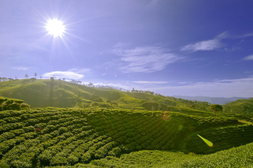 The hills Agriculture Beauty In Nature Blue Blue Sky Blue Sky And Clouds Day Field Green Color INDONESIA Landscape Landscape Photography Landscape_photography Lens Flare Mountain Nature Nature Nature Photography Outdoors Scenics Sky Sun Sunlight Sunlight Tea Crop Teatree